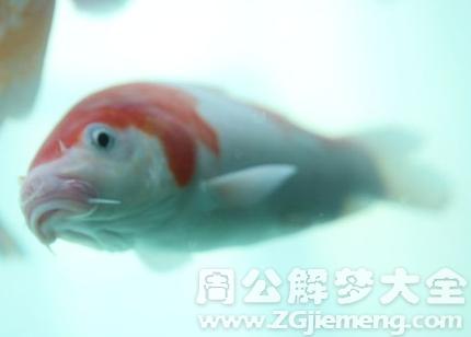 梦见鱼受伤流血.png