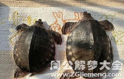梦见乌龟甲鱼.png