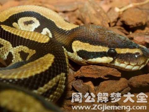 女人梦见蟒蛇.jpg