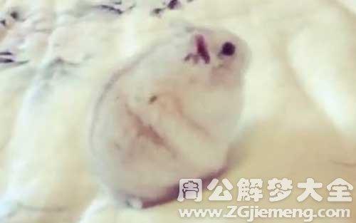梦见老鼠上床.jpg