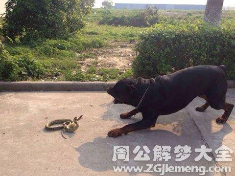 梦见蛇和狗打架.jpg