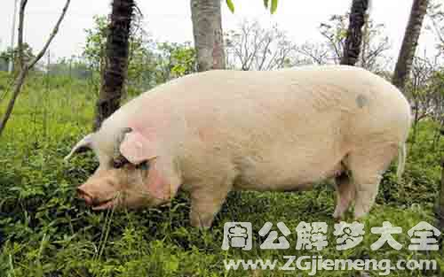 梦见大肥猪.jpg