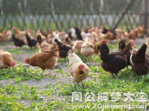 梦见好多鸡.jpg