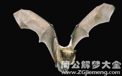 梦见吸血蝙蝠