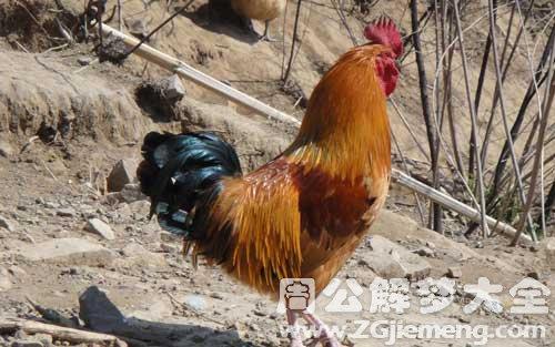 鸡叫、打鸣