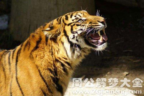 梦见老虎吼叫