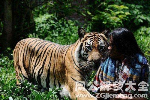 梦见老虎吃人
