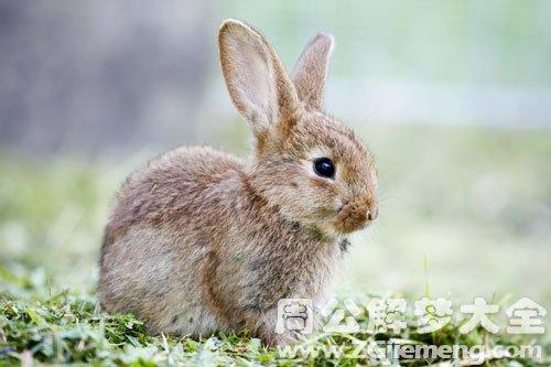 梦见兔子说话
