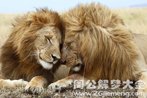怀孕梦见狮子