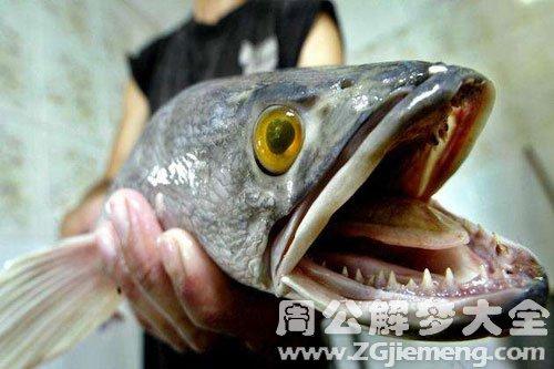 梦到长牙的鱼