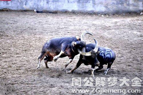 梦到两头牛打架