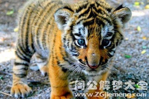 老虎是什么意思_梦见可爱的小老虎是什么意思_梦到可爱的小老虎好不好_大鱼解梦网