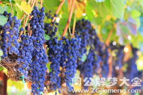 女人梦见很多葡萄