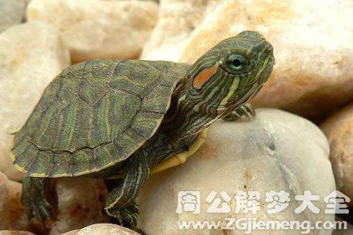 怀孕初期梦见乌龟