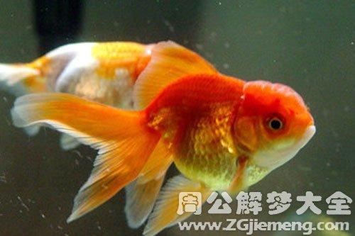 梦见一条小金鱼