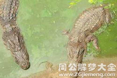 梦见两条鳄鱼