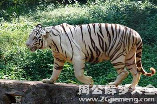 老虎是什么意思_梦见救老虎是什么意思_梦到救老虎好不好_大鱼解梦网