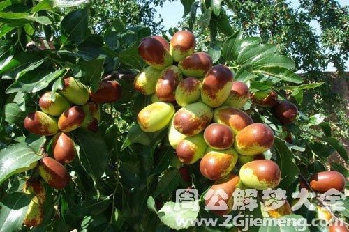 在枣树上摘枣吃