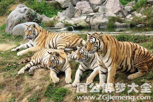 老虎是什么意思_梦见老虎群是什么意思_梦到老虎群好不好_大鱼解梦网
