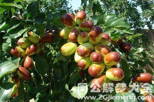 枣树结满枣子