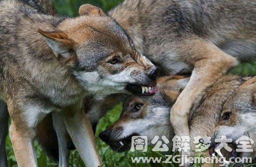 梦见许多狼