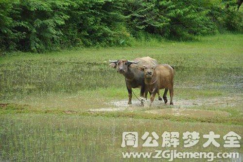 梦见二头牛