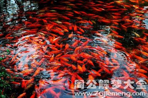 梦见捉红鱼