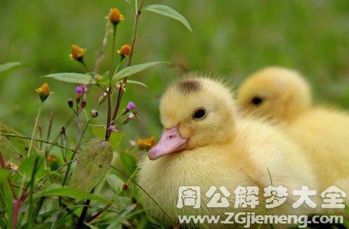 梦见好多小鸭