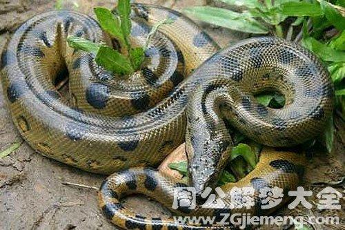 梦见家里一条大蛇是什么意思 梦到家里一条大蛇好不好 大鱼解梦网