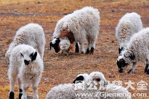 梦见两只小羊