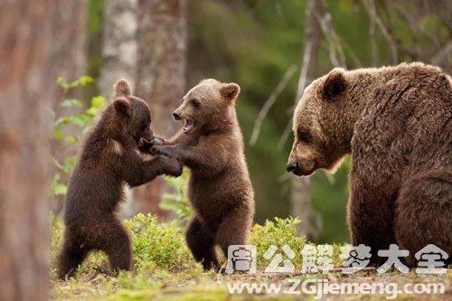 梦见熊打架