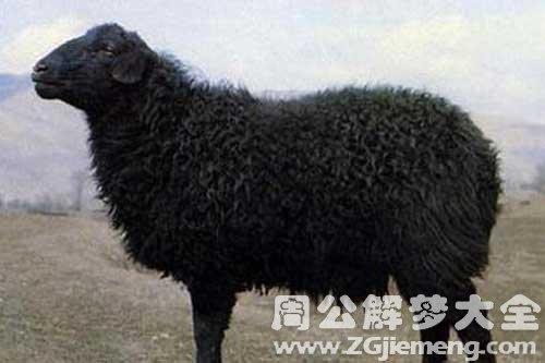 梦见黑色的羊