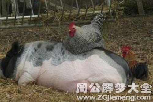 梦见猪和鸡