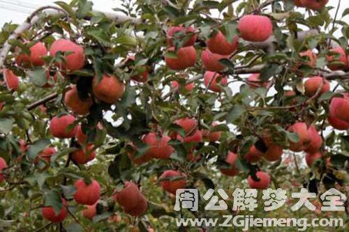 梦见满树苹果
