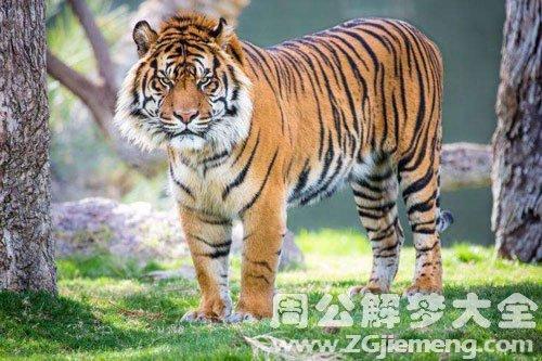 老虎是什么意思_梦见抱老虎是什么意思_梦到抱老虎好不好_大鱼解梦网