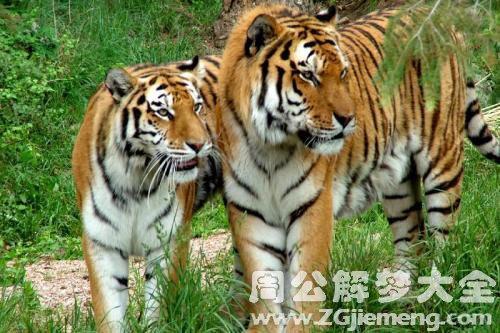 老虎是什么意思_梦见有老虎是什么意思_梦到有老虎好不好_大鱼解梦网