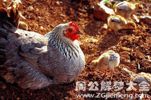 母鸡和小鸡