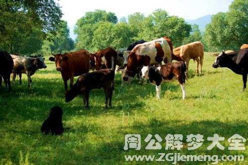 梦见牛会说话