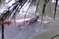 鳄鱼将男子拖入水中 次日将尸体送回