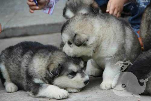 梦见小狼崽