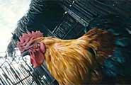 灵魂托梦-公鸡引魂